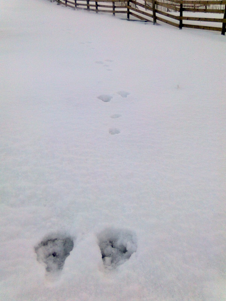 Mountain hares are now well camouflaged but their tracks were very visible today.