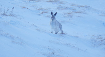 Fresh snow and mountain hare